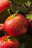 Rohe organische rote Gala Apples Lizenzfreie Stockbilder