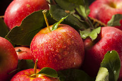 Rohe organische rote Gala Apples Lizenzfreie Stockfotos