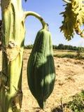 Rohe Papaya lizenzfreies stockbild