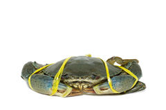 Rohe schwarze Krabbe gebunden mit Seilgelb auf weißem Hintergrund Lizenzfreie Stockbilder