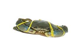 Rohe schwarze Krabbe gebunden mit Seilgelb auf weißem Hintergrund Lizenzfreies Stockbild