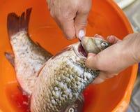 roher Fisch, Reinigung, Frau übergibt Aufschnitt die Fische Lizenzfreies Stockbild