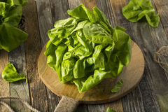 Roher grüner organischer Boston-Butterkopfsalat Stockfoto