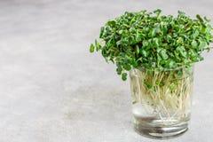 Roher grüner organischer Rettich oder daikon Microgreens stockfotografie