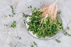 Roher grüner organischer Rettich oder daikon Microgreens Lizenzfreies Stockbild