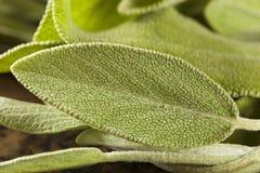 Roher grüner organischer Salbei Lizenzfreie Stockbilder