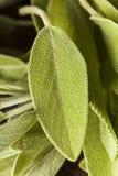Roher grüner organischer Salbei Stockfoto