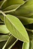 Roher grüner organischer Salbei Stockbild