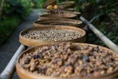 Roher Kaffee Kopi Luwak auf Kaffeebauernhof Lizenzfreie Stockfotos