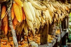 Roher Mais in Nord-Thailand Stockbild