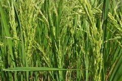 Roher Reis lizenzfreie stockbilder