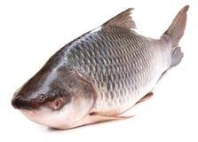 Rohu ή ψάρια Rohit της ινδικής υπο-ηπείρου στοκ φωτογραφίες