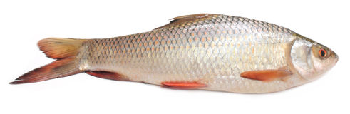 Rohu or Rohit fish of Indian subcontinent Stock Photography