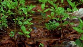 Rohwasserquellquelle im Waldnatürlichen Frühling von waterin der Wald stock video