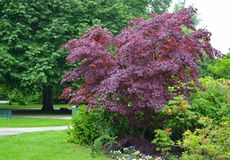 Roi cramoisi de platanoides cramoisis du Roi Acer d'acutifoliate d'érable en parc Photo libre de droits
