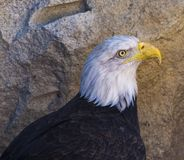 Roi d'Eagle chauve du ciel photographie stock