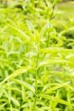 Roi d'herbe amère - paniculata d'Andrographis Photos libres de droits