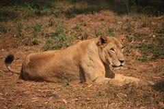 Roi de la forêt, lion photo stock