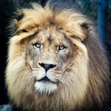 Roi de la jungle image libre de droits
