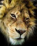 Roi de la jungle photographie stock