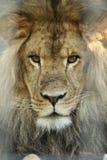 Roi de lion Photos stock