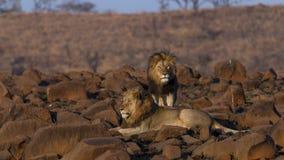 Roi de lion Photographie stock libre de droits