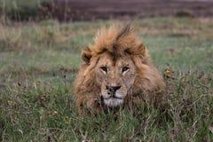 Roi de lion Photos libres de droits