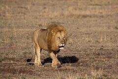 Roi de lion dans le masai mara Photographie stock