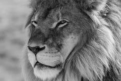 Roi de lion du sauvage Image libre de droits
