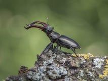 Roi de scarabée image libre de droits