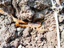 Roi de scorpion photographie stock libre de droits