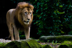 Roi des bêtes, lion Images stock
