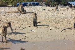 Roi des singes Photographie stock libre de droits