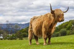 Roi du pré - bétail écossais incroyables Images stock