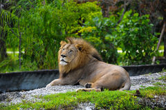 Roi fier des animaux regardant par la distance Image stock