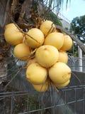 Roi jaune de noix de coco Photos libres de droits