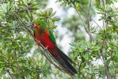 Roi-perroquet photo stock