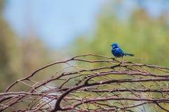 Roitelet bleu féerique splendide Images libres de droits