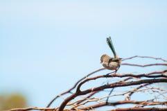 Roitelet bleu féerique splendide Image libre de droits