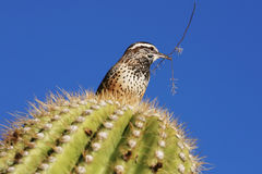 Roitelet de cactus avec la brindille Image libre de droits
