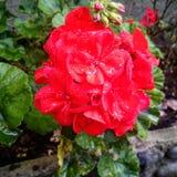 Roja de Flor, Geranio Fotografia de Stock