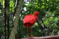 Roja de la avenida - el Brasil Foto de archivo