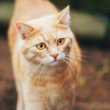 Rojo anaranjado Cat Outdoor Fotografía de archivo