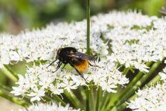 Rojo-Atar-Manosear-abeja (Lapidarius del Bombus) Fotos de archivo