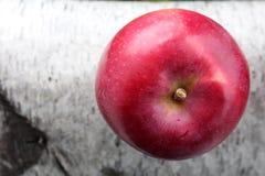 Rojo brillante de la manzana recientemente escogida en rama del abedul Imagen de archivo libre de regalías