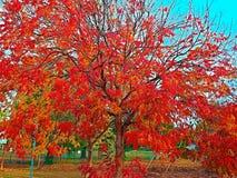 Rojo brillante y la naranja se va en la caída fotografía de archivo libre de regalías