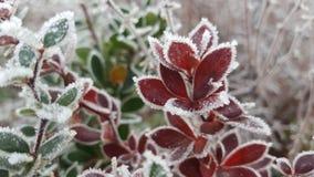 Rojo - bushleafs verdes Fotos de archivo
