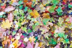 Rojo caido hojas del amarillo del otoño de la cal Fotografía de archivo libre de regalías