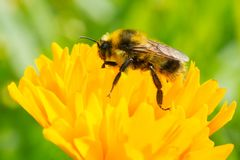 Rojo-ceñido manosee la abeja - rufocinctus del Bombus imagen de archivo libre de regalías