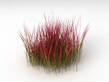 Rojo cilíndrico de Imperata Fotografía de archivo libre de regalías